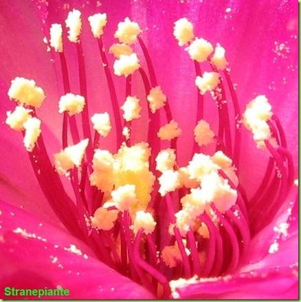 Rebutia canigueralii Sin Sulcorebutia rauschii stami polline
