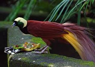 Amazing Pictures of Animals, photo, Nature, exotic, funny, incredibel, Zoo, Superb Bird-of-paradise, Lophorina superba, Alex (3)