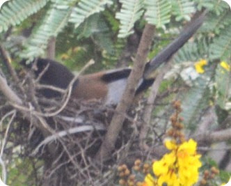 Nest Indian Treepie (51)