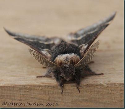 December-moth-1