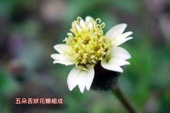 肺炎草1-花.
