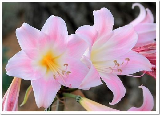 130902_UCD_Aboretrum_StorerGarden_Amaryllis-belladonna_21