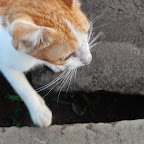 20140714_アンコールワット早朝の猫