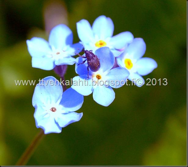 pikkutukkikärsäkkäästä (Hylobius pinastri)  muita hyönteisä 049