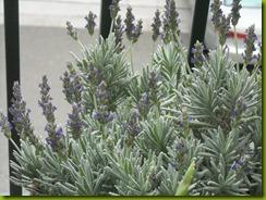lavendar study february 2012 c