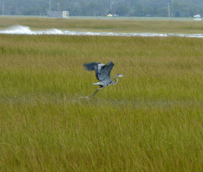 Great Blue Heron take-off