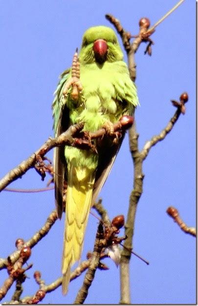 parc montsouris parrots 112214 for facebook 00000