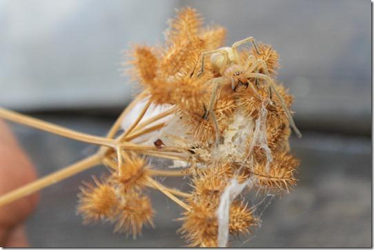 Dornfinger - Cheriacanthium punctorium