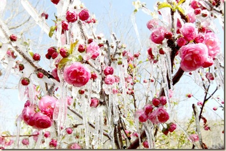 icy blooms
