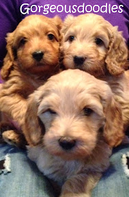 labradoodle gorgeousdoodles puppies  in colorado