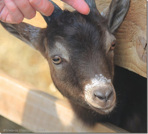 3-goat