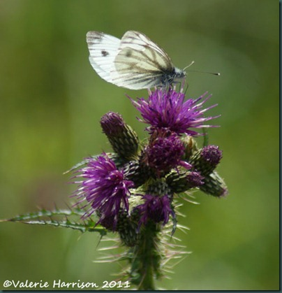 18-green-veined-white-on-thistle