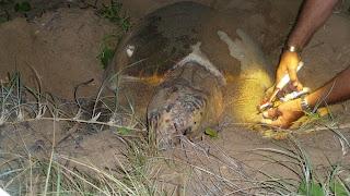 Diese Schildkröte legt zum ersten Mal Eier und wird nun markiert.