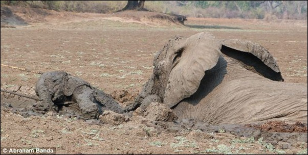 The team of workers from South Luangwa Conservation Society pulls the calf first, avoiding the mother's thrashing trunk