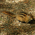 Townsends.chipmunk.dscn3479