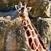 Philly Zoo giraffe