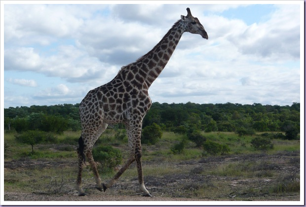 Hoedspruit-África-do-Sul-Safari-Game-Drives-Girafa