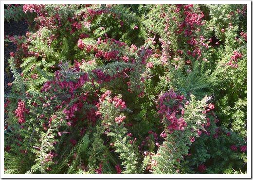 120303_GreenAcresFolsom_Grevillea-lanigera-Coastal-Gem_01