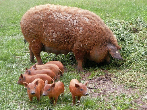Mangalitsa - The Woolly Sheep-Pig | Animal Pictures and Facts ...