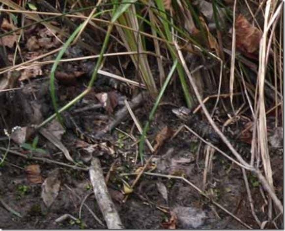 baby gators001