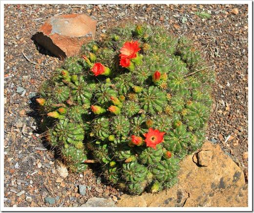 130428_UCBG_SpringSale_Echinopsis-aff-obrepanda_01