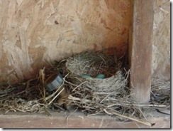 Mrs. Robin #2's nest