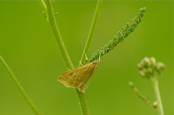 Crambidae : Pyraustinae : Microstega pandalis (HÜBNER, 1825). Les Hautes-Lisières (Rouvres, 28), 19 juin 2011. Photo : J.-M. Gayman