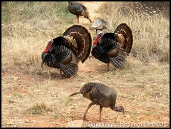 Wild turkeys traveled the campground at Palo Duro Canyon Park near Amarillo, Texas, in March 2004.  We were starting our ten-year escapade with a real dose of nature.