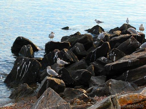 5. gulls-kab