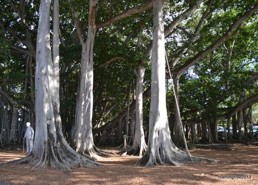 Banyan Tree -- It's hard to believe this is a single tree!