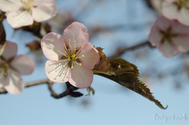 2013-05-26 Sakura 019