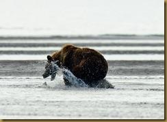 Bear grabbing Fish
