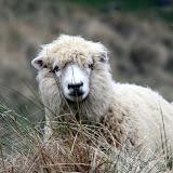 Sheep In The Sand at Papnui Beach - Otago Peninsula, New Zealand