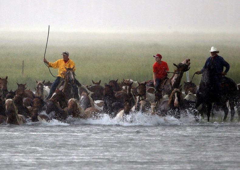 chincoteague-pony-swim-4