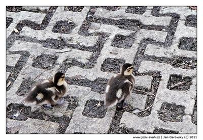 small_fat_duck