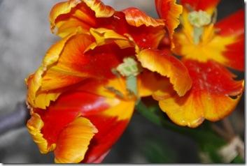 tulipa DSC_0391DSC_03966