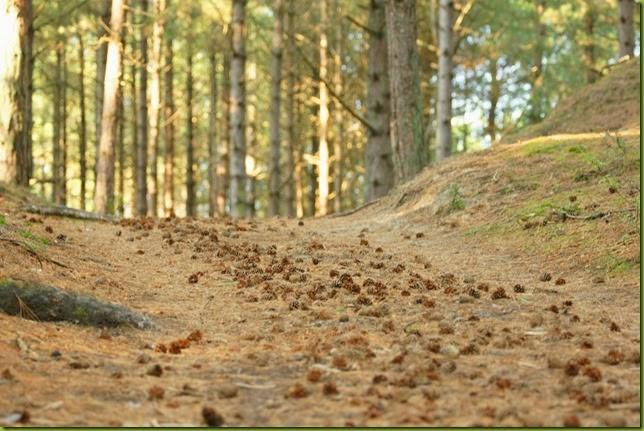 Holkham woodland