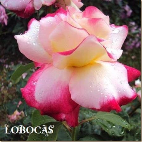 rosa-LoBocAs-5009