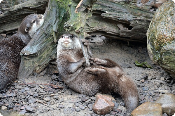 Wremen 20zwölf Tag 6 Zoo am Meer - Otter (2)