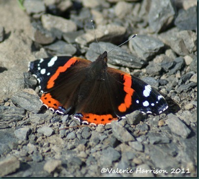 16-red-admiral