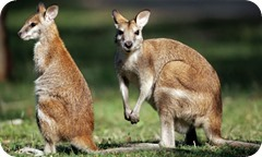 A-wallaby-and-joey-001_thumb1
