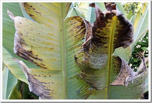 111217_musella_lasiocarpa_leaf