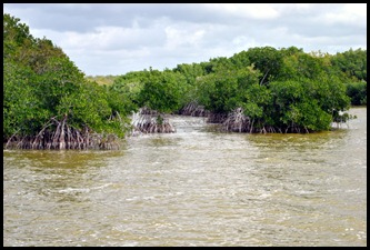 06j - West Lake Trail - Red Mangroves