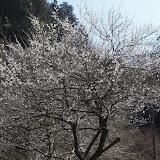 池の近くの桜