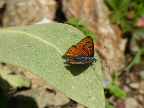 Lycaena alciphron melibaeus (Staudinger, 1878), mâle. Vallée au Nord de l'Elbruz, 2100 m (Kabardino-Balkarie), 11 août 2014. Photo : J. Michel