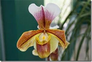 orquídea insetívora