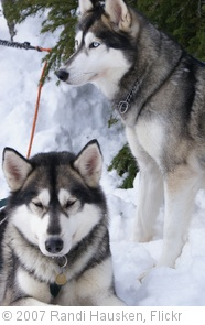 'Siberian Huskies' photo (c) 2007, Randi Hausken - license: http://creativecommons.org/licenses/by/2.0/