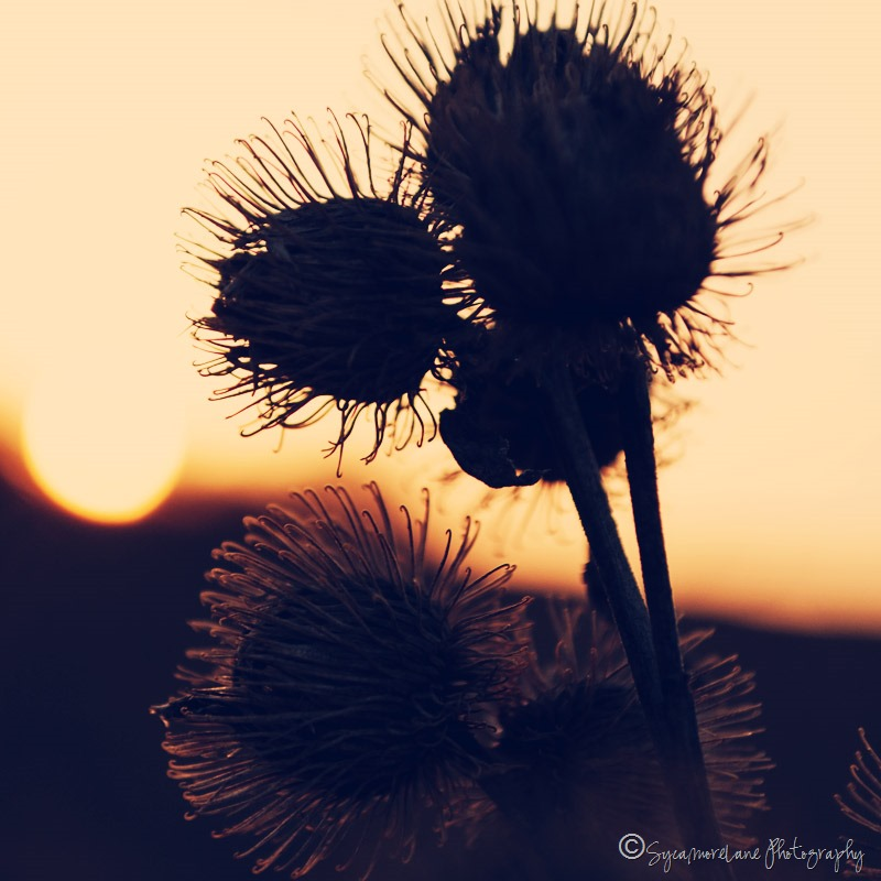Burdock-SycamoreLane Photography