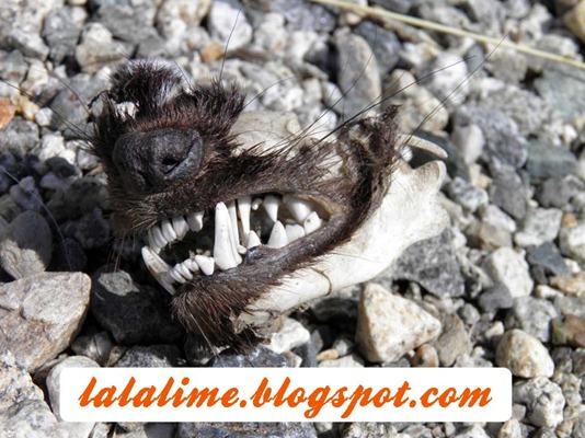 Skunk-Face_Barb-Derksen