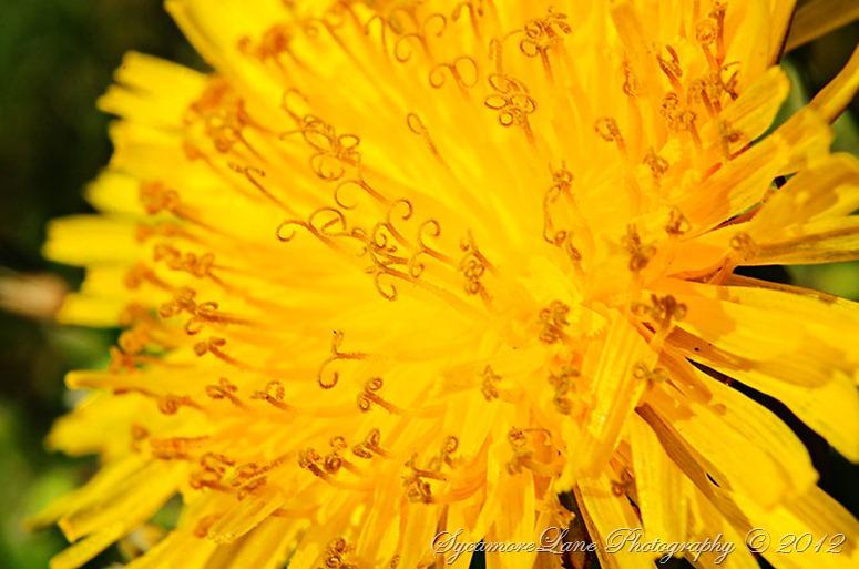 dandelion-w